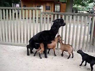 16.lama Fucking Goat