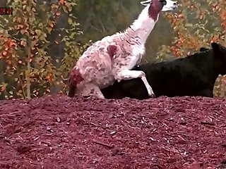 6.goat Fucking Cow