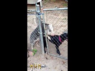 1.pig On Dog