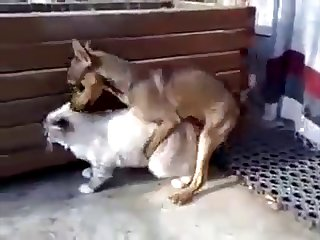 17.dog Fucking Cat