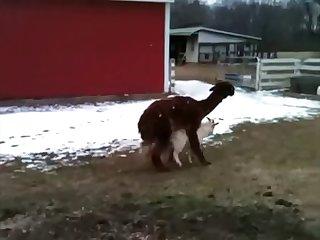7.lama Fucking Goat